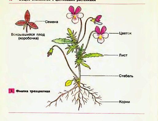 его и строение схема функции растений